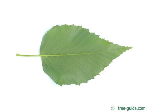 gold birch (Betula ermanii) leaf underside