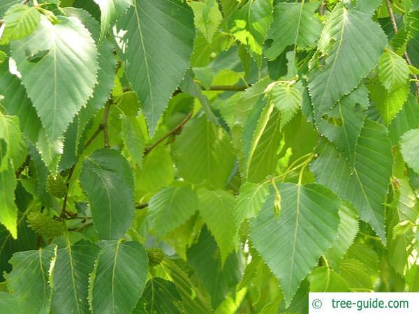 gold birch (Betula ermanii) leaves