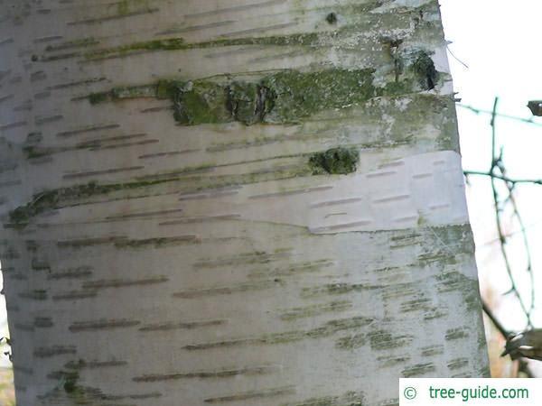 gold birch (Betula ermanii) trunk / stem