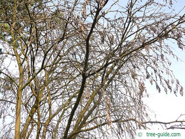 golden chain (Laburnum alpinum) tree crown in winter