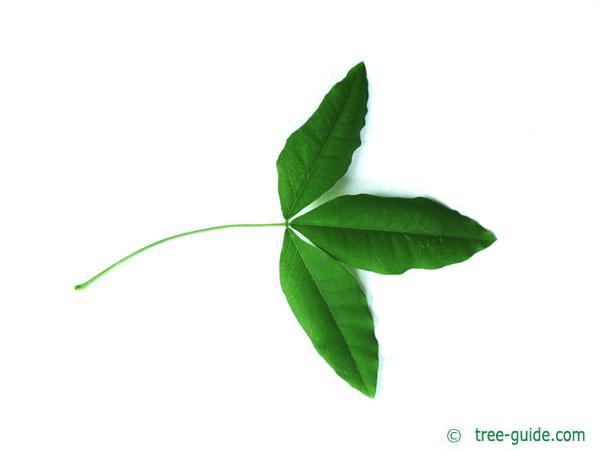 common golden chain (Laburnum anagyroides) leaf