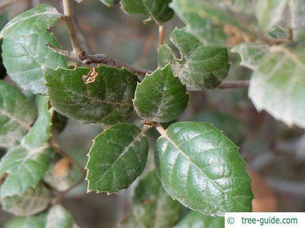 Golden oak (Quercus alnifolia) leaf