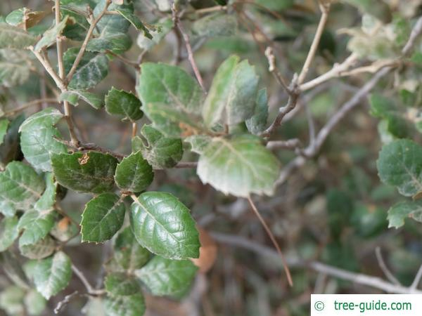 Golden oak (Quercus alnifolia) leaves