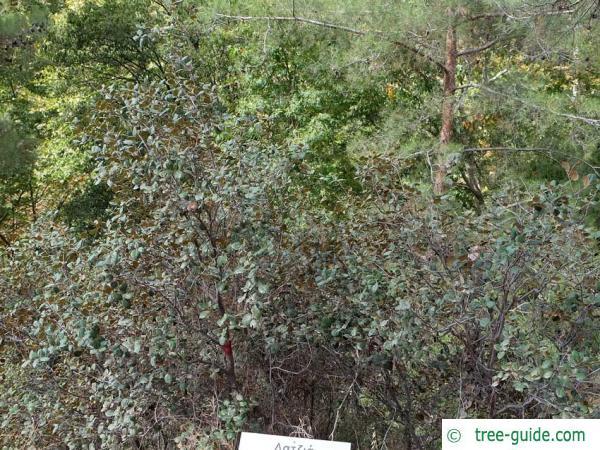 Golden oak (Quercus alnifolia) tree / shrub