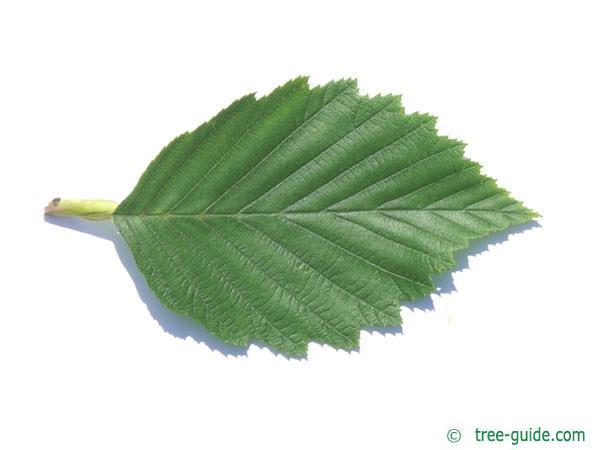 gray alder (Alnus incana) leaf