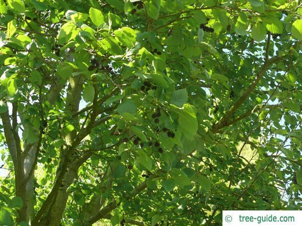 gray alder (Alnus incana) leaves
