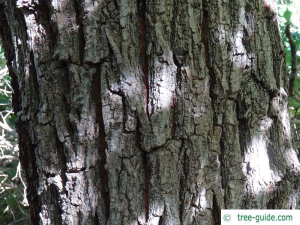 Grey elm (Ulmus canescens) bark