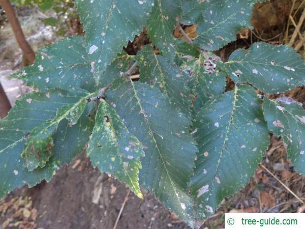 Grey elm (Ulmus canescens) leaves