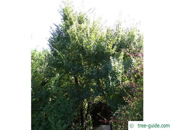 Grey elm (Ulmus canescens) tree