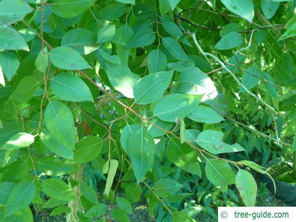 grey ironbark (Eucalyptus paniculata) branch