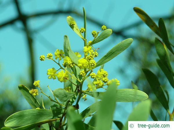 Grey mulga (Acacia brachybotrya) yellow blossoms