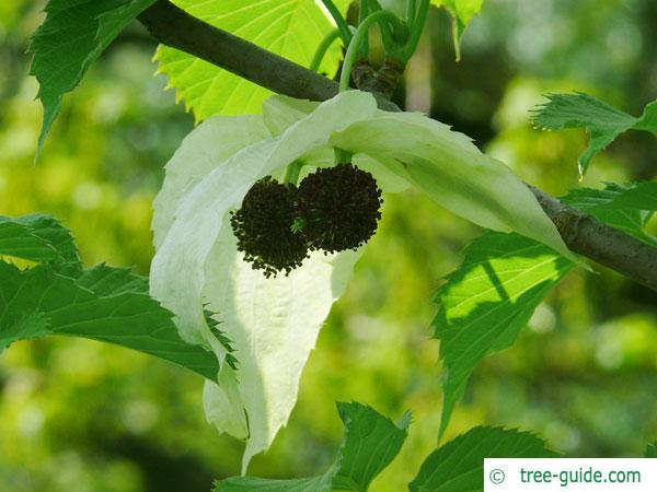 handkerchief tree (Davidia involucrata) blossom