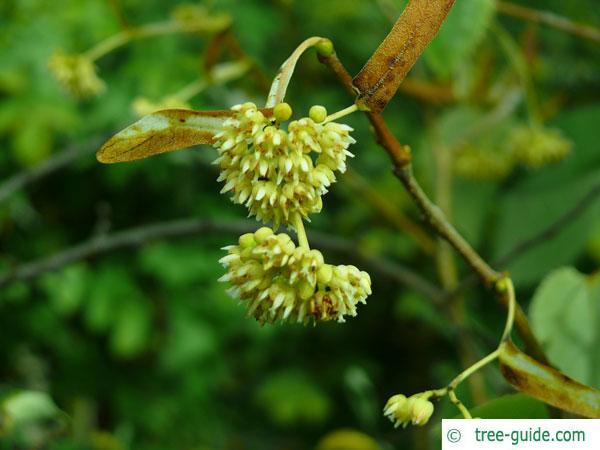 henry's lime (Tilia henryana) blossoms