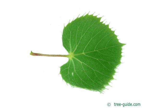 henry's lime (Tilia henryana) leaf