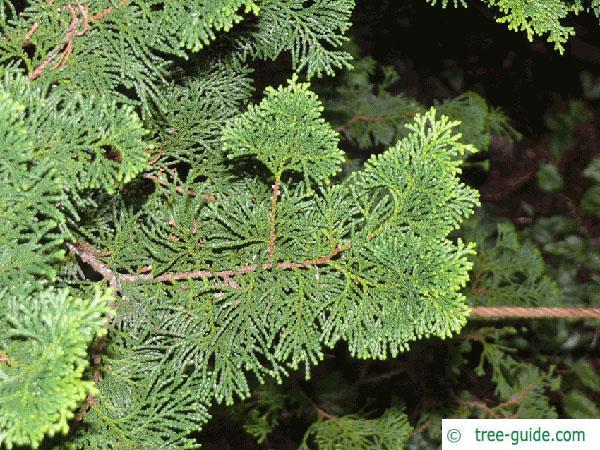 hinoki cypress (Chamaecyparis obtusa) branch