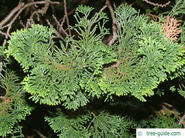 hinoki cypress (Chamaecyparis obtusa) branches
