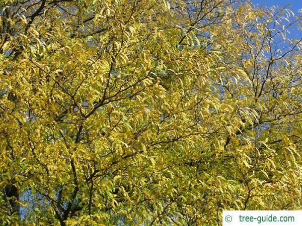 honea locust (Gleditsia triacanthos) autumn foliage
