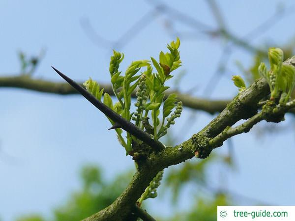 honey locust (Gleditsia triacanthos) budding