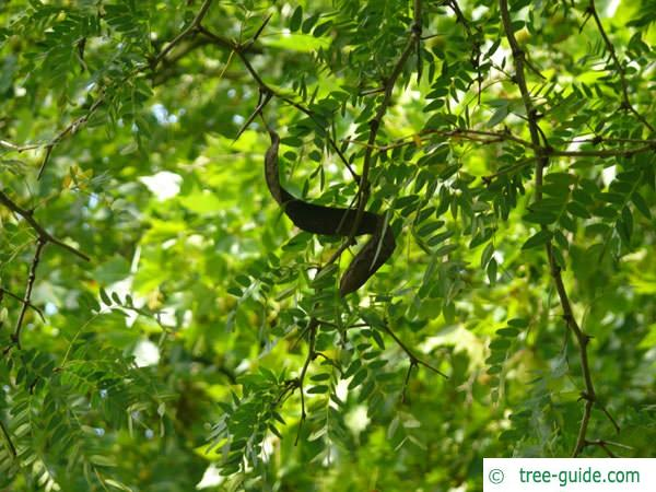 honey locust (Gleditsia triacanthos) leaves