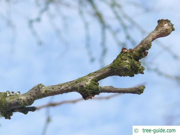 honey locust (Gleditsia triacanthos) terminal bud