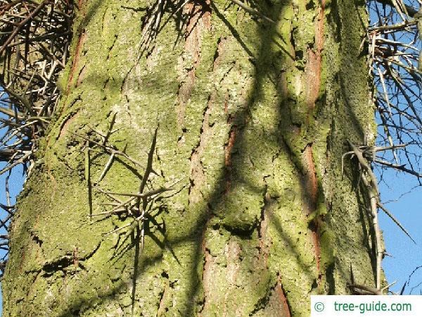 honey locust (Gleditsia triacanthos) trunk