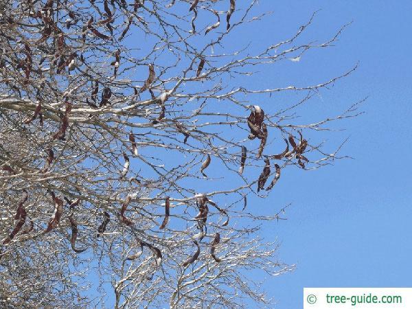 honey locust (Gleditsia triacanthos) winter