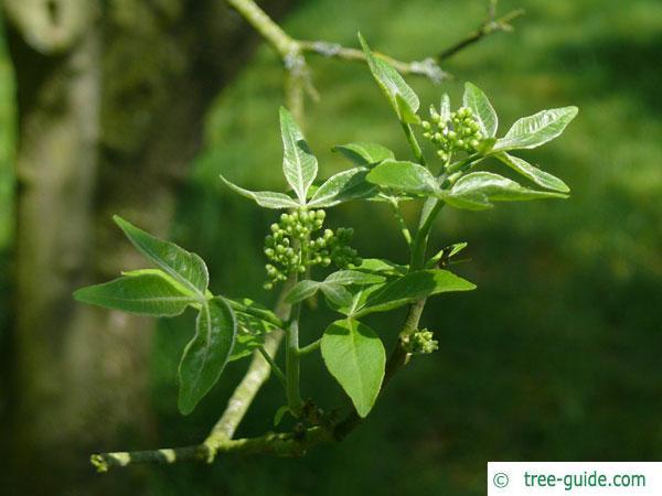 hoptree (Ptelea trifoliata) budding