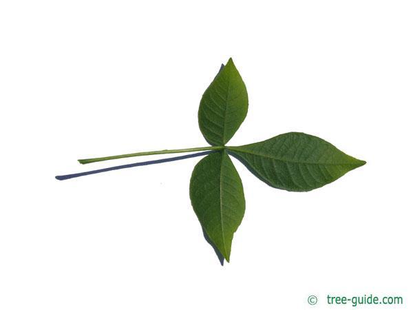 hoptree (Ptelea trifoliata) leaf underside