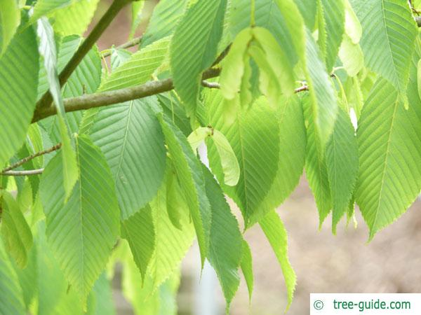 hornbeam maple (Acer carpinifolium) branch with leaves and fruits