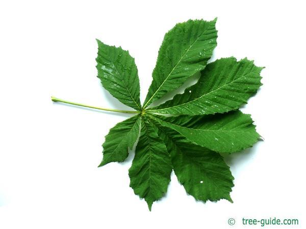 horsechestnut (Aesculus hippocastanum) horsechestnut leaf