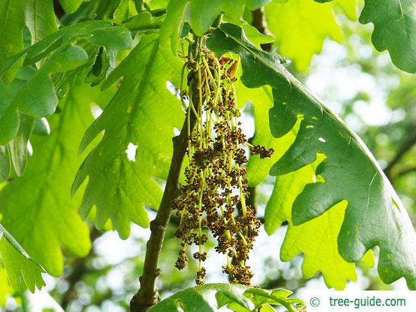 hungarian oak (Quercus fainetto) blossoms