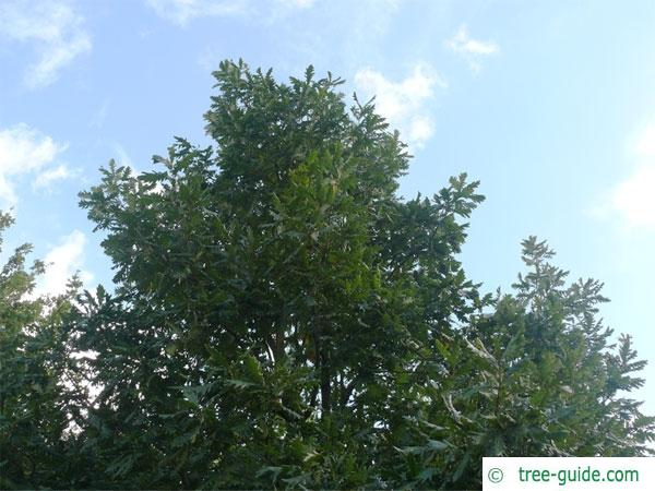 hungarian oak (Quercus fainetto) tree crown