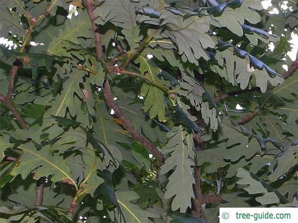 hungarian oak (Quercus fainetto) leaves