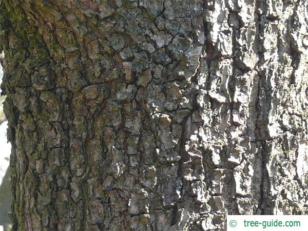 hungarian oak (Quercus fainetto) trunk / bark