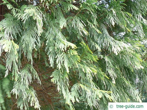 incense cedar (Calocedrus decurrens) branches