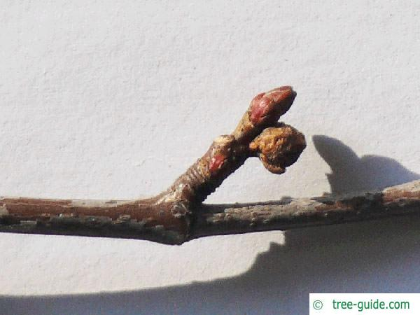 dissected norway maple (Acer saccharinum 'Wieri') axial buds