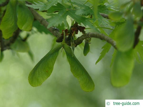 dissected norway maple (Acer saccharinum 'Wieri') fruit