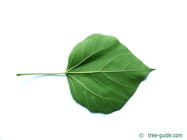 indian bean tree (Catalpa bignonioides) leaf underside