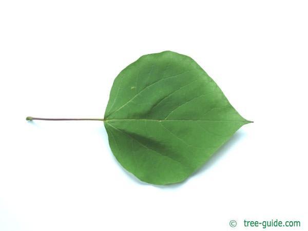 indian bean tree (Catalpa bignonioides) leaf
