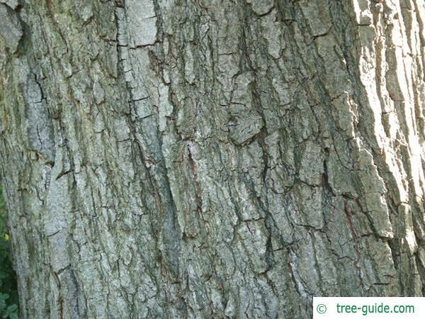 italian alder (Alnus cordata) trunk / bark