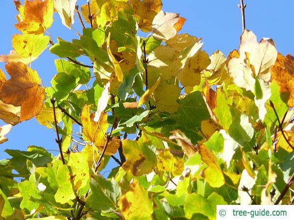 italian maple (Acer opalus) foliage in autumn