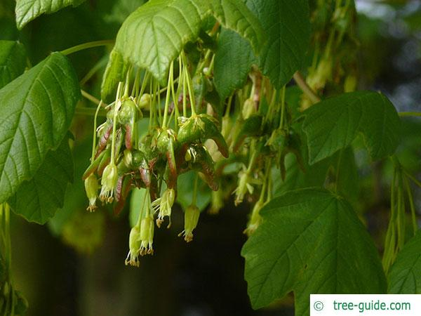 italian maple (Acer opalus) blossoms