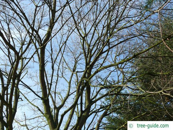 italian maple (Acer opalus) tree crown in winter