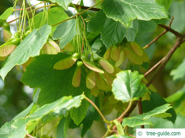 italian maple (Acer opalus) leaves and fruits