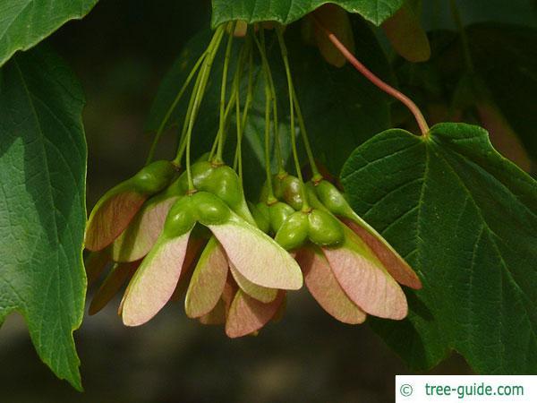 italian maple (Acer opalus) fruits