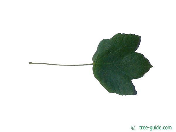 italian maple (Acer opalus) leaf