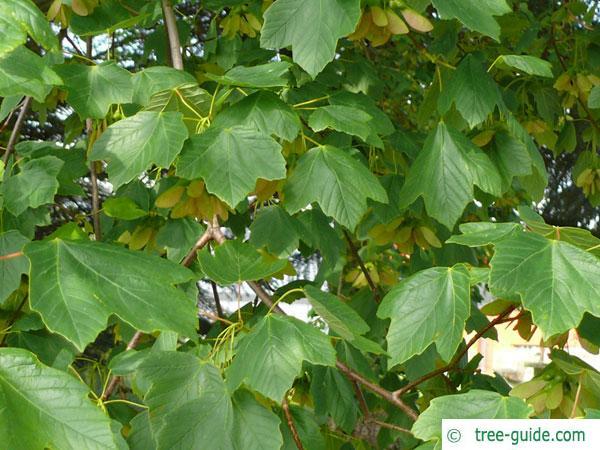 italian maple (Acer opalus) leaves