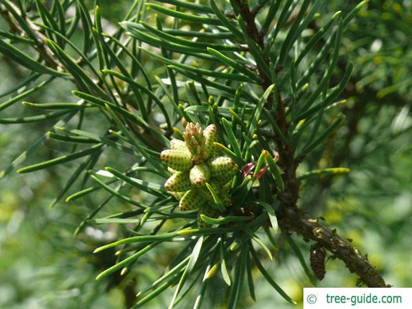 jack pine (Pinus banksiana) blossoms