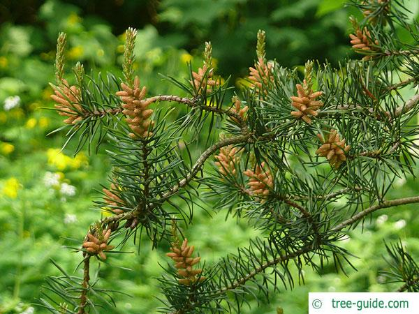jack pine (Pinus banksiana) young cones