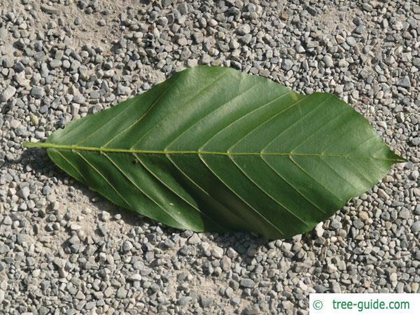 Japanese Beech leaf backside